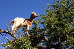 Capra in albero Fotografia Stock Libera da Diritti