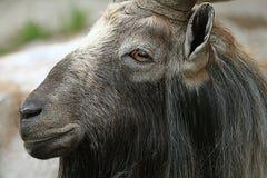 Capra allo zoo Fotografia Stock Libera da Diritti