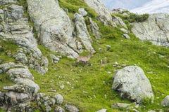 Capra alpina sulle rocce, supporto Bianco, supporto Blanc, alpi, Italia Fotografia Stock