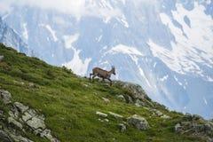 Capra alpina sulle rocce, supporto Bianco, supporto Blanc, alpi, Italia Immagini Stock