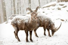 Capra in wild at winter. Capra animal in wild at winter Royalty Free Stock Photography