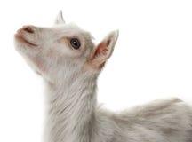 capra bianca fotografia stock libera da diritti
