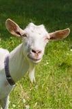 Capra bianca. Fotografie Stock