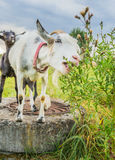 Capra bianca che mangia erba Fotografie Stock