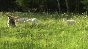 Capra bianca che pasce nel campo Piccola capra sulla catena Capra della madre con la capra, due capre stock footage