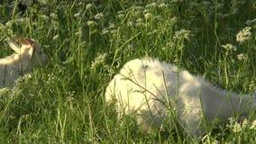 Capra bianca che pasce nel campo Piccola capra sulla catena Capra della madre con la capra, due capre archivi video