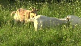 Capra bianca che pasce nel campo Piccola capra sulla catena Capra della madre con la capra, due capre video d archivio