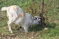Capra bianca che prova a mangiare immagine dell'erba fotografie stock