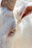 Capra bianca Cloesup immagine stock libera da diritti