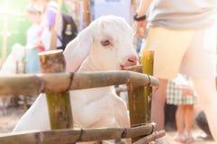 Capra bianca del bambino che gioca con il recinto di bambù, fine su delle capre bianche in azienda agricola Fotografia Stock Libera da Diritti