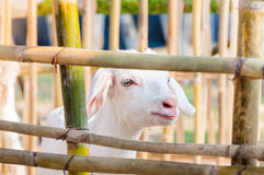 Capra bianca del bambino che gioca con il recinto di bambù, fine su delle capre bianche in azienda agricola Fotografie Stock