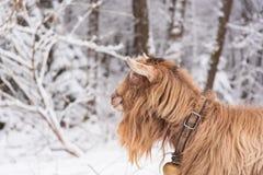 Capra bianca della foresta del paesaggio di inverno e della campagna dei campi fotografia stock libera da diritti