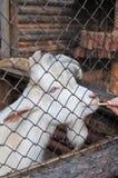 capra bianca dietro le barre in uno zoo fotografia stock libera da diritti