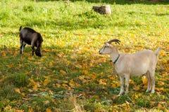 Capra bianca e marrone al villaggio sull'erba di autunno Ranch o azienda agricola Immagine Stock