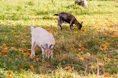 Capra bianca e marrone al villaggio sull'erba di autunno Ranch o azienda agricola Fotografia Stock