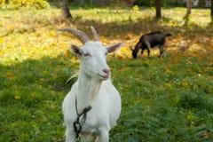 Capra bianca e marrone al villaggio sull'erba di autunno Ranch o azienda agricola Fotografia Stock Libera da Diritti