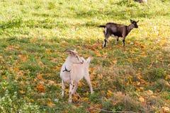 Capra bianca e marrone al villaggio sull'erba di autunno Ranch o azienda agricola Immagine Stock Libera da Diritti