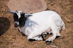 Capra bianca e nera del bambino Fotografie Stock Libere da Diritti