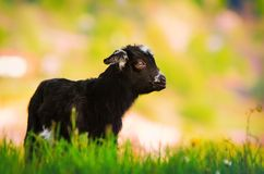 Capra bianca e nera del bambino Immagine Stock