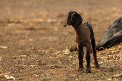 Capra bianca e nera del bambino Fotografie Stock