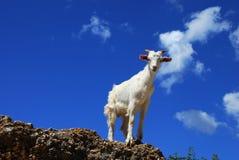 Capra bianca sopra cielo blu Immagine Stock