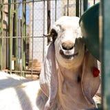 Capra bianca sorridente Immagini Stock