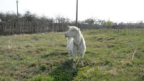 Capra bianca sul campo stock footage