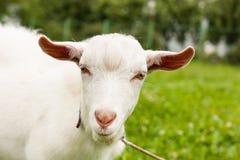 Capra bianca sul prato di estate Immagini Stock
