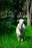 Capra bianca sull'erba Immagine Stock