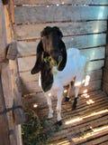 Capra bianca in un granaio, capra capa nera fotografie stock libere da diritti
