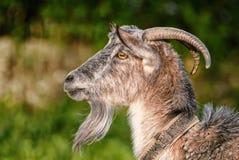 Capra, capra, ritratto di profilo Fotografie Stock Libere da Diritti