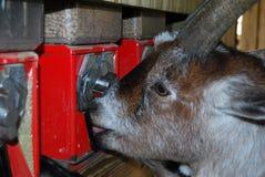 Capra che mangia alimento dalla macchina del quarto Fotografia Stock