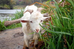 Capra che mangia erba Fotografie Stock