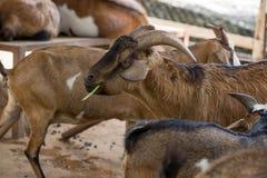 Capra che mangia le verdure nella penna della capra Fotografia Stock Libera da Diritti