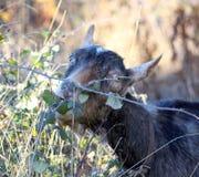 Capra che pasce nel tema degli animali da allevamento domestici e del campo, Fotografia Stock