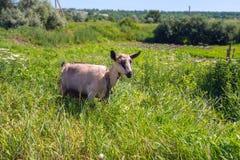 Capra che pasce su un prato rurale in mezzo di erba verde fertile Immagine Stock