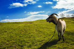 Capra che pasce su un prato rurale in mezzo di erba verde fertile Immagini Stock