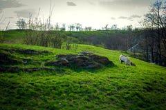 Capra che pasce su un prato rurale in mezzo di erba verde fertile Fotografie Stock