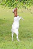 Capra che pasce sulle foglie dell'albero Fotografia Stock