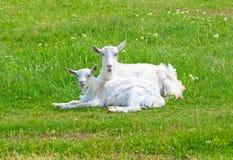 Capra con i goatlings Immagini Stock Libere da Diritti