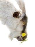 Capra con un fiore Immagini Stock Libere da Diritti