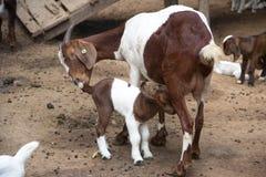 Capra del bambino con la mamma Fotografie Stock Libere da Diritti