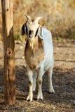 Capra del Boer Fotografia Stock Libera da Diritti