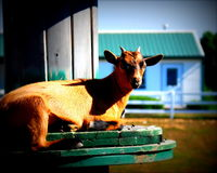 Capra del Brown su un'azienda agricola fotografia stock libera da diritti