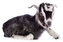 Capra dell'animale da allevamento isolata Immagini Stock Libere da Diritti
