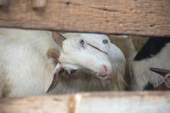 Capra dell'azienda agricola Fotografia Stock