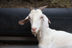 Capra dell'azienda agricola Fotografia Stock Libera da Diritti