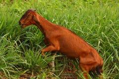 capra dell'azienda agricola di concetto di agricoltura Fotografia Stock Libera da Diritti