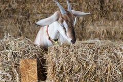 capra dell'azienda agricola di concetto di agricoltura Fotografie Stock Libere da Diritti