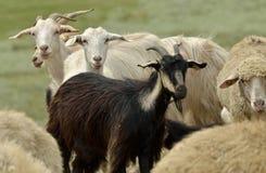 Capra delle pecore Fotografia Stock Libera da Diritti